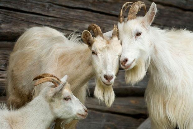 ESES.goats3white.jpg