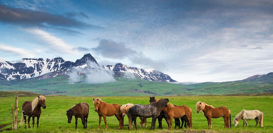 icelandic-horses-in-mountain-landscape-in-iceland-matthias-hauser.jpg