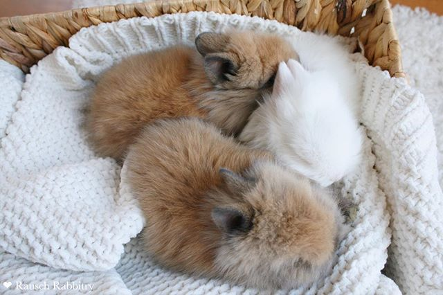 Sweet dreams ✨😴💗 - #rabbit #rabbits #bunny #bunnies #bunnyrabbit #bunnyrabbits #rabbitsofinstagram #rabbitsofinsta #rabbitsofig #bunniesofinstagram #bunniesofinsta #bunniesofig #hollandlop #hollandlops #hollandloprabbit #hollandlopsforsale #lionheadsforsale #hollandloprabbitry #rabbitry #bunnyrabbitry #minirex #babybunnies #rabbitsforsale #rabbitforsale #mnrabbits #cutebunnies #cute