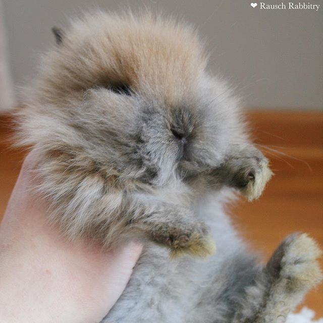 Old picture of a baby 💖. - #rabbit #rabbits #bunny #bunnies #bunnyrabbit #bunnyrabbits #rabbitsofinstagram #rabbitsofinsta #rabbitsofig #bunniesofinstagram #bunniesofinsta #bunniesofig #hollandlop #hollandlops #hollandloprabbit #hollandlopsforsale #lionheadsforsale #hollandloprabbitry #rabbitry #bunnyrabbitry #minirex #babybunnies #rabbitsforsale #rabbitforsale #mnrabbits #cutebunnies #cute