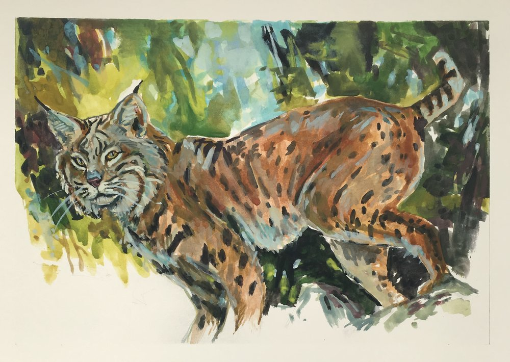 The Bobcat is named for its short, bobbed tail. It is yellow with brown spots, smallest of the Lynx genus. They stalk their prey with a short chase or pounce and kill with their sharp, retractable claws. They look for rabbits, rodents, birds and even insects, but can also bring down a deer.