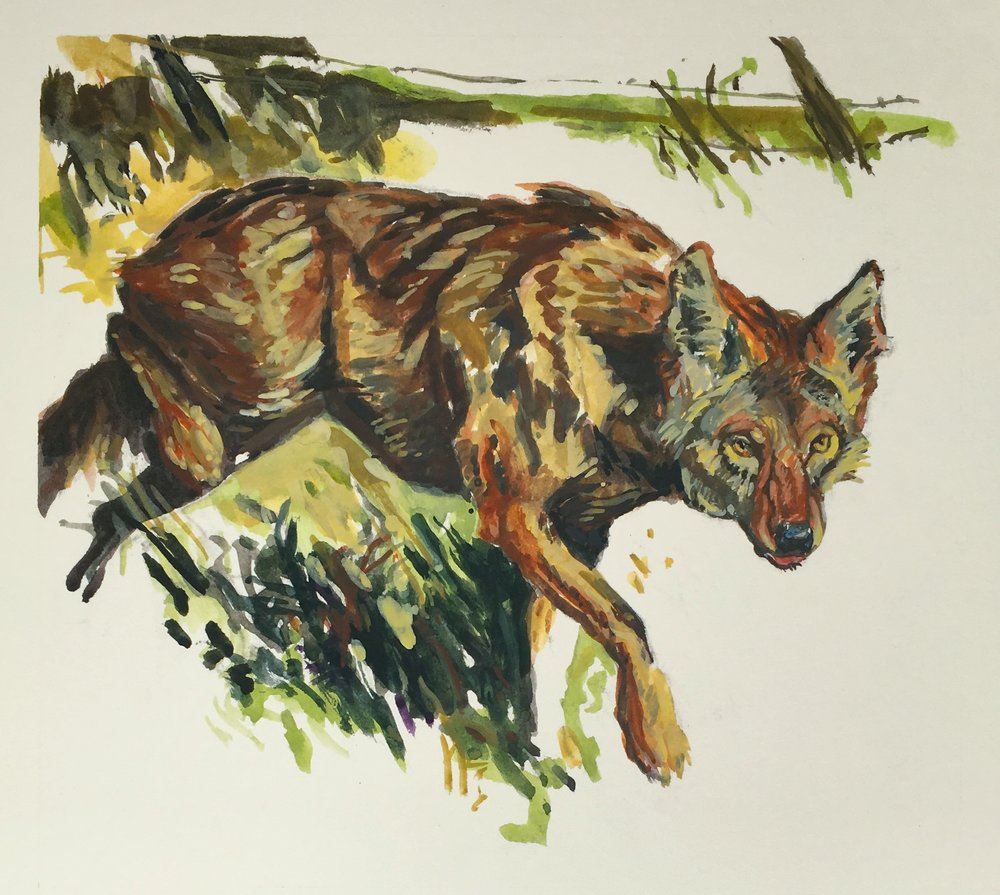 Coyotes were deified by ancient tribes, including the Chumash Indians. They live and survive by their intellect that has allowed them to adapt to civilization and its many food sources.