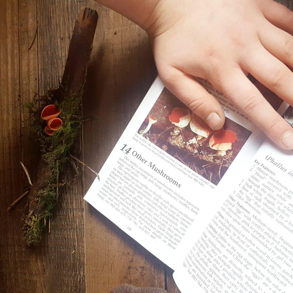 scarlet cup fungus.jpg