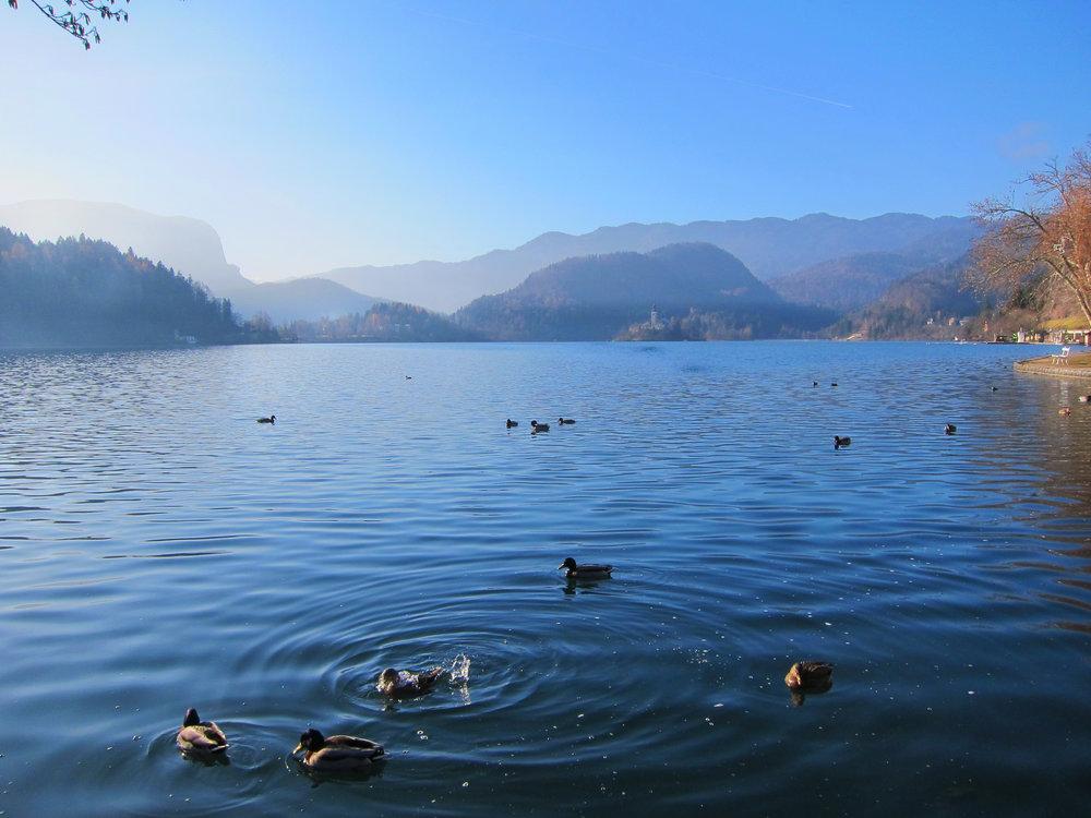 Bled Ducks