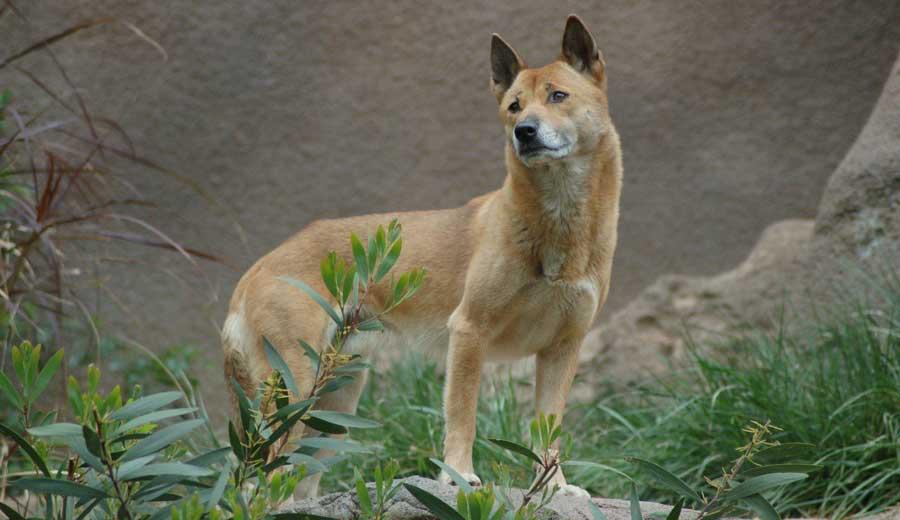 New-Guinea-Singing-Dog.jpg