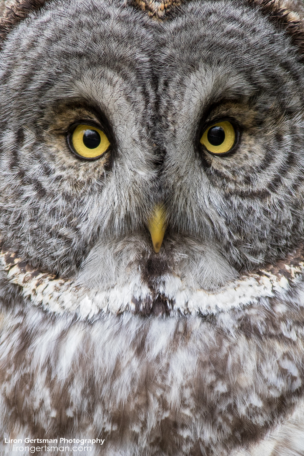 Great-Gray-Owl-3-web.jpg