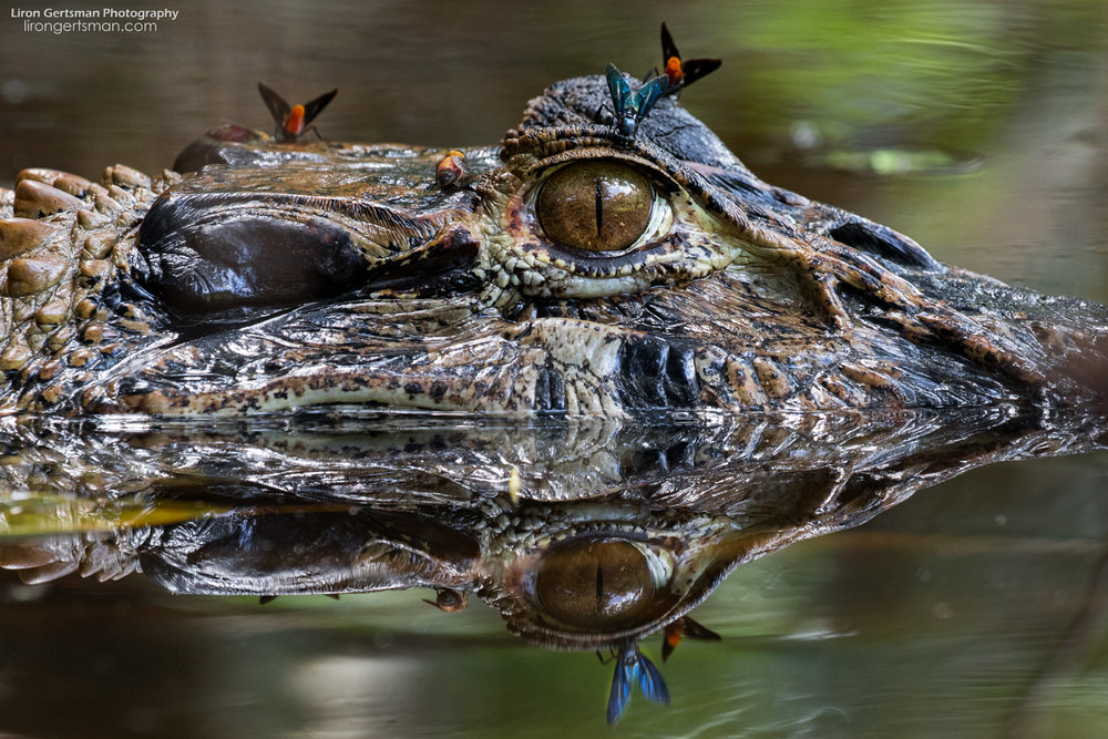 Tours from the lodges of the Kichwa Añangu people may encounter the iconic Black Caiman. Sightings of animals like this help educate toursists about the wildlife of the region.