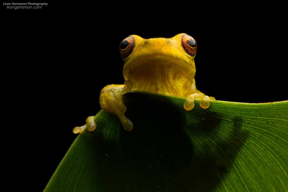 The beautiful Executioner Clown Frog is one of the many frog species that the team has observed and studied in the Mindo aera.