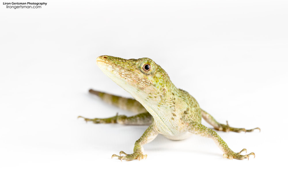 The Pinocchio Anole as believed to be extinct after only a handful of sightings around its original discovery in the 1970s. The animal was rediscovered in Mindo in 2005, and the Tropcial Herping team has since found and documented many more individuals in the area. This is a female photographed on a white background in the lab.