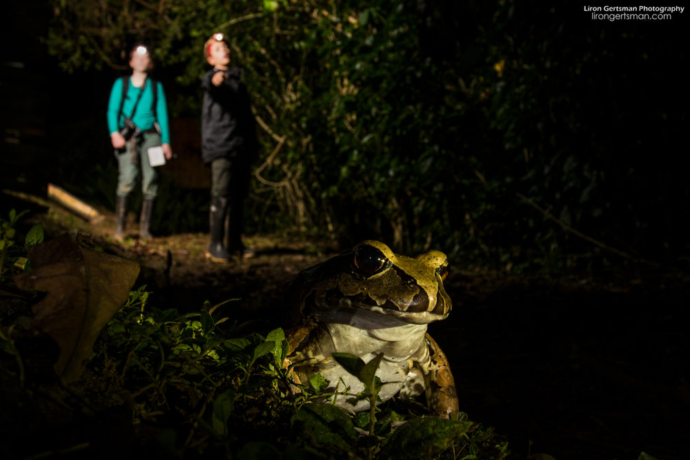 Some of the activities at the lodges include night walks, where one can see a variety of animals, including herps such as this Smokey Jungle Frog.
