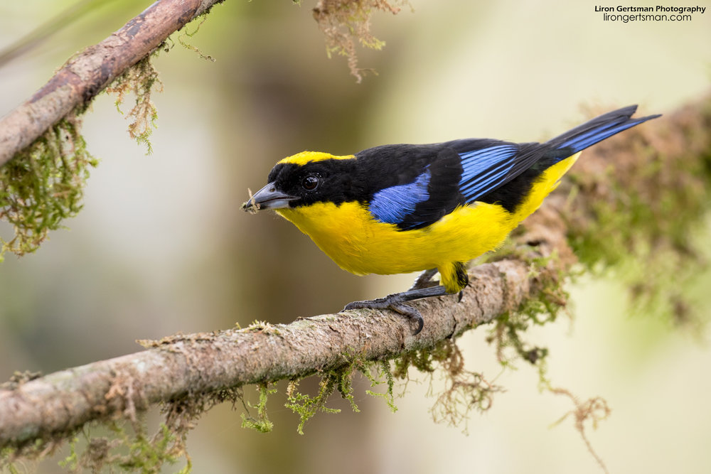 Blue-winged-Mountain-Tanager-web.jpg
