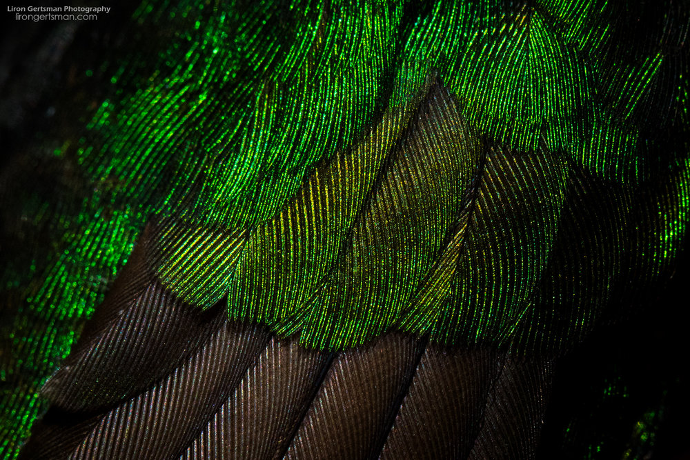 Buff-tailed-Coronet-detail-web.jpg
