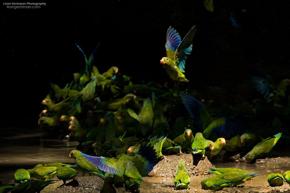 Cobalt-winged-Parakeets-2-web.jpg