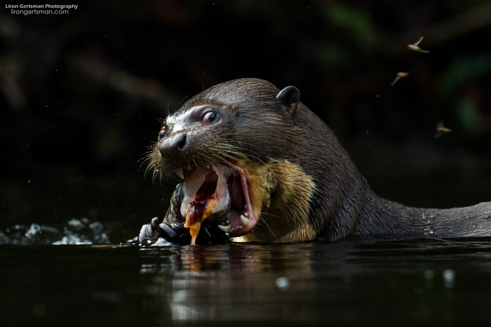 Giant-River-Otter-3-web.jpg
