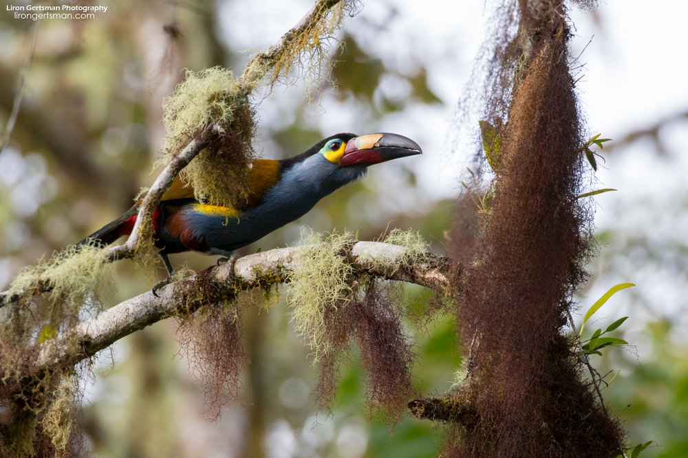 Plate-billed-Mountain-Toucan-web.jpg