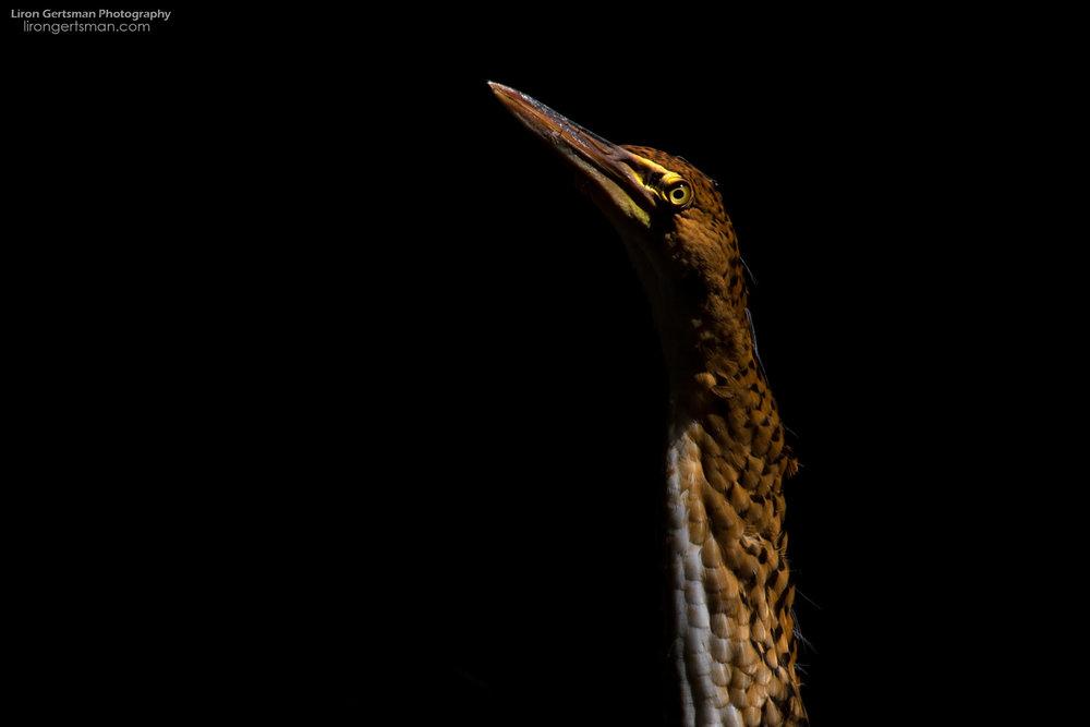 Rufescent-Tiger-Heron-juvenile-web.jpg