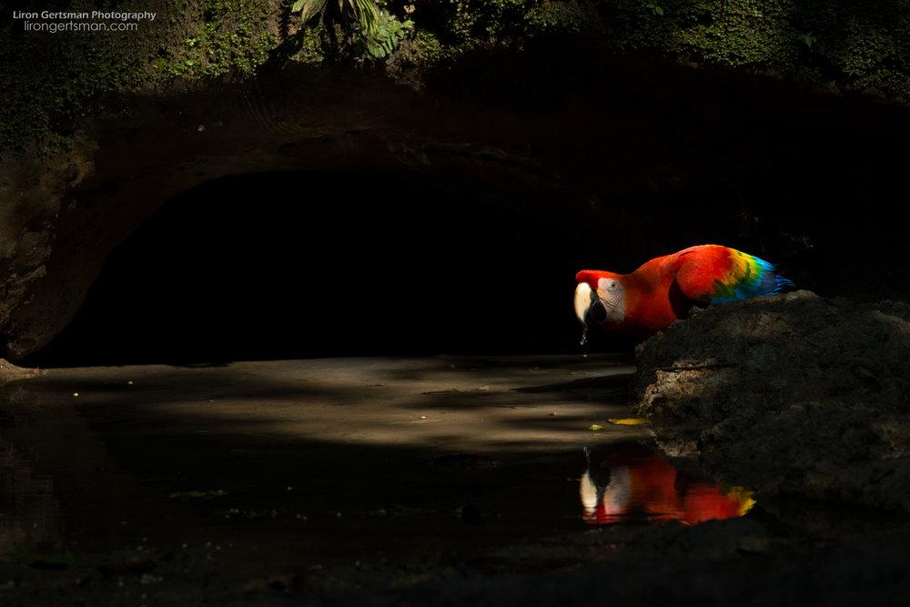 Scarlet-Macaw-web.jpg