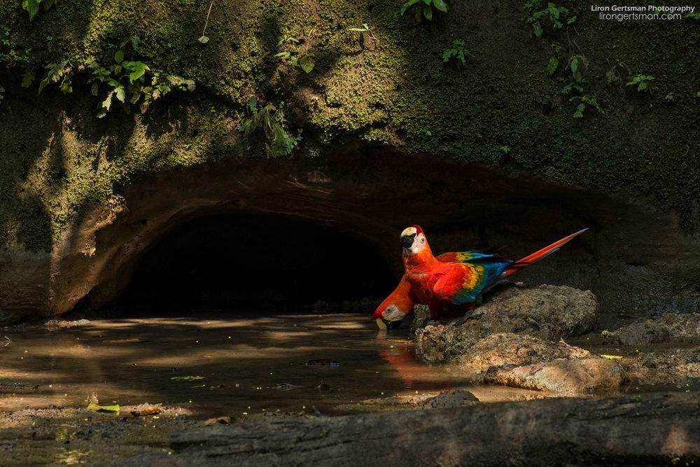 Scarlet-Macaws-web.jpg