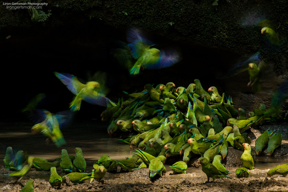 "Cobalt-winged Parakeets land on the forest floor to drink mineral-rich water and eat nutrient rich mud. This image was ""highly commended"" in the age 15-17 category of Wildlife Photographer of the Year 54 (2018)."