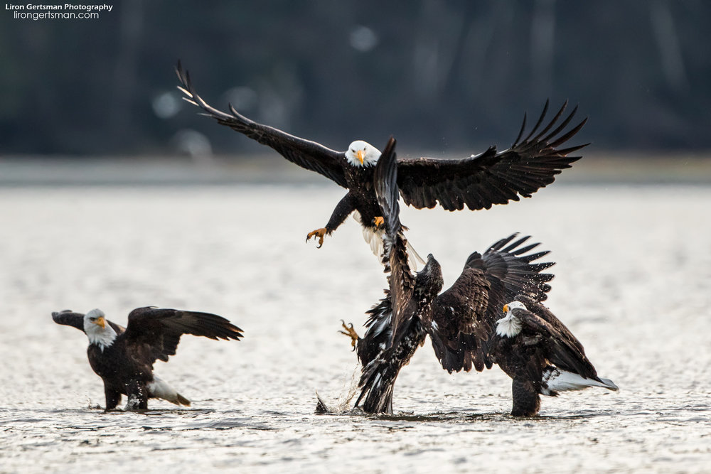 Bald-Eagle-01-web.jpg