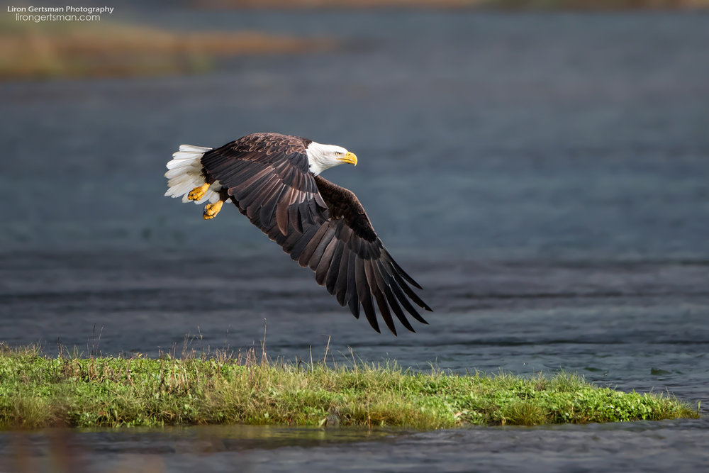 Bald-Eagle1-web.jpg