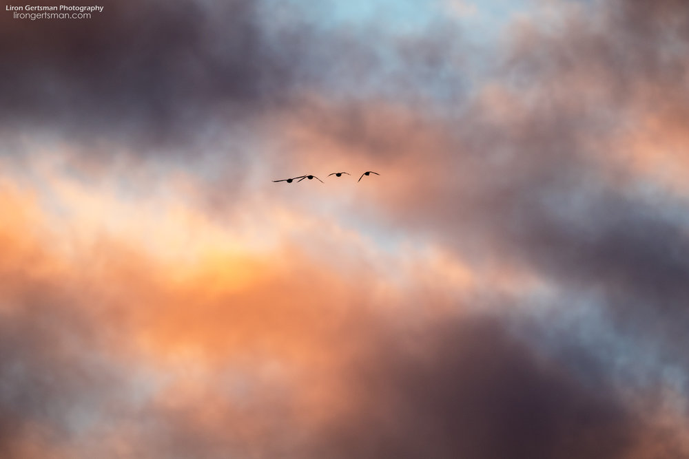 Ducks-flying-at-sunset.jpg