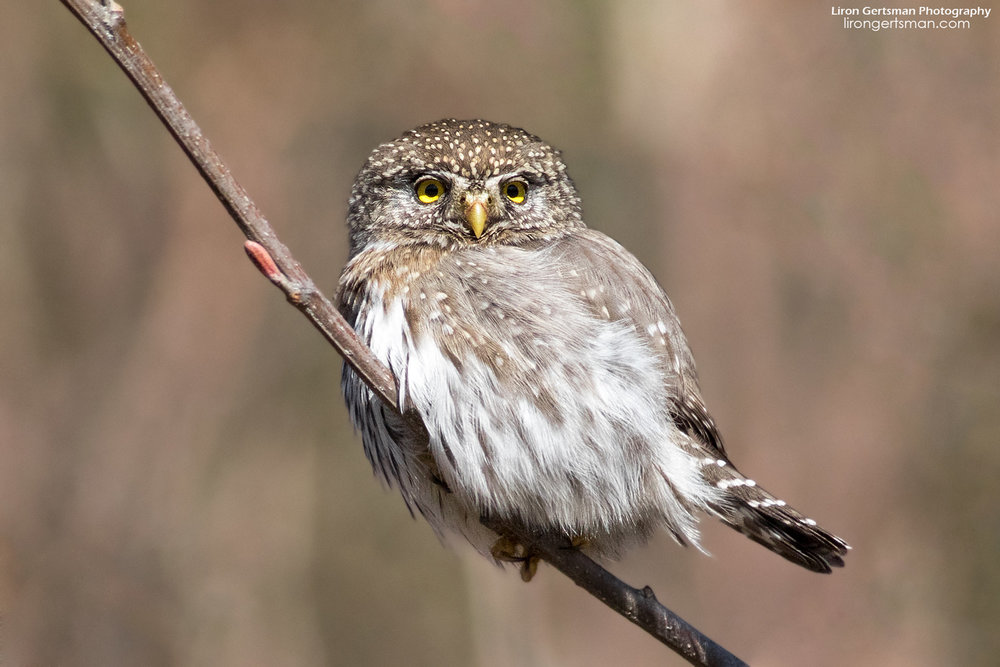 Northern-Pygmy-Owl-3_01-web.jpg