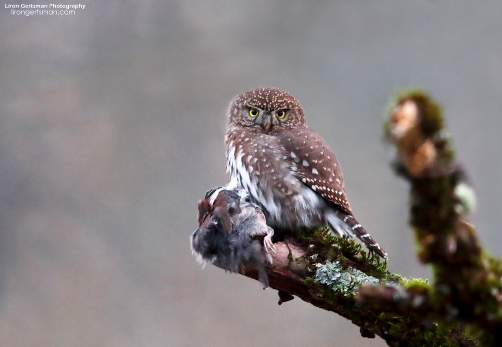 Northern-Pygmy-Owl-web.jpg