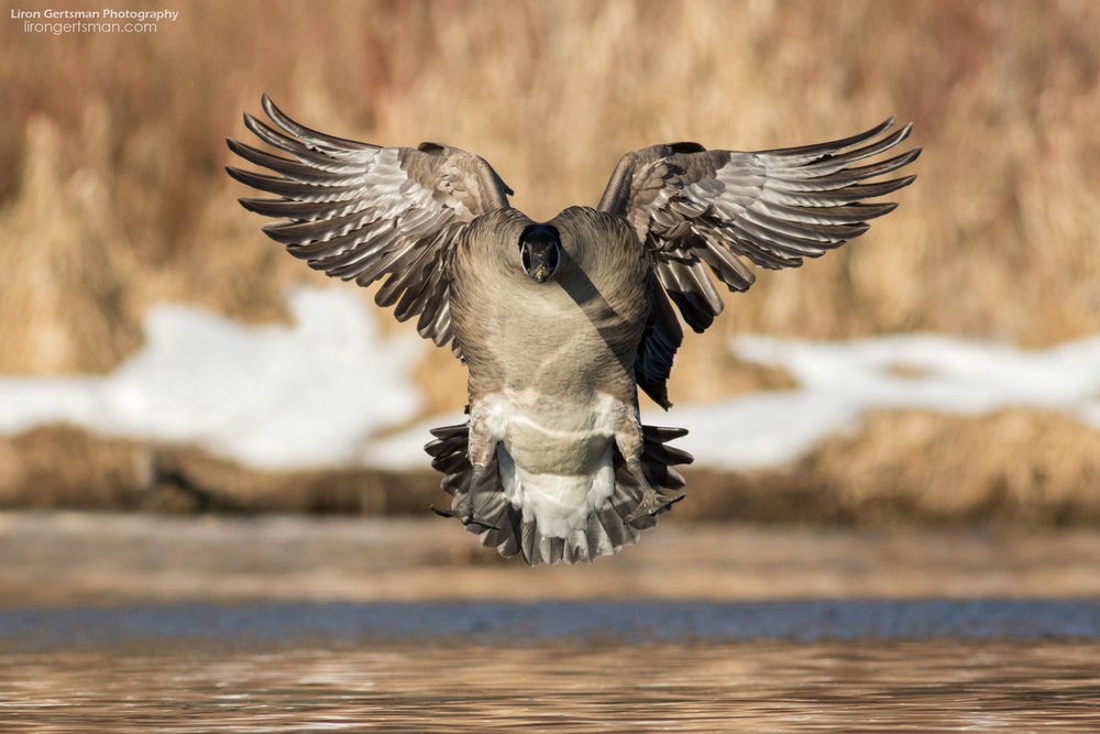 Canada-Goose-landing-web.jpg