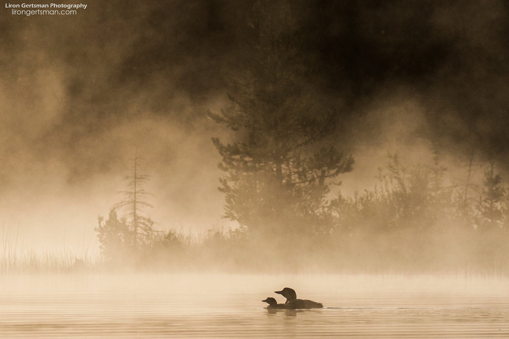Common-Loon-and-chick-web.jpg