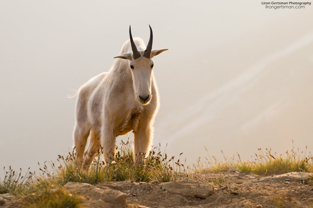 While I spent most of my time photographing the goats in their environment with a wide angle lens, I did spend some time with my long lens taking more traditional photos. Look at this stunning, muscular billy stretching at the top of a hill in the early morning light!