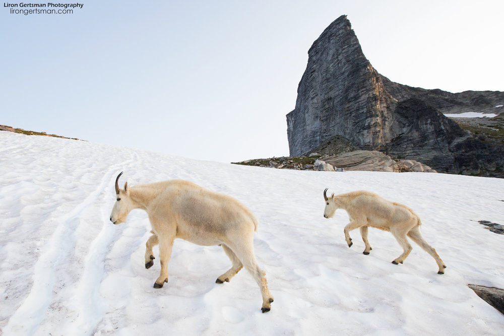 Even though it was Summer, there was still some snow up in the alpine and the goats occasionally walked across the ice. Being the expert climbers they are, they did it with relative ease, while my attempts often included much slipping and sliding.