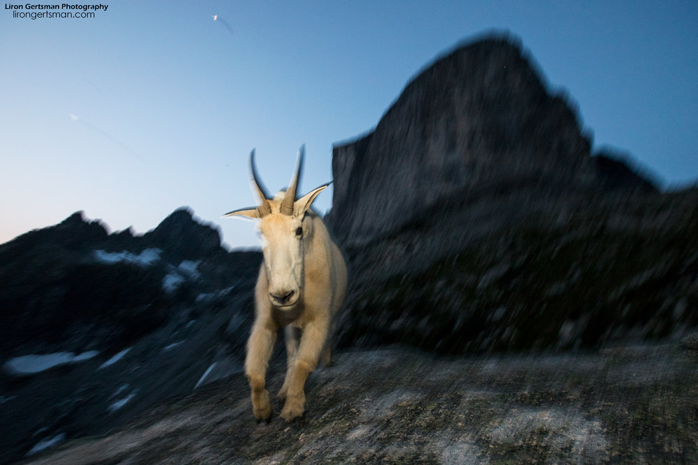 "As it got darker each night, the ""blue hour"" provided some new opportunities for more unique and abstract photos. Here, I used a slow shutter speed and a flash to create this motion-blur effect as this goat walked towards me."