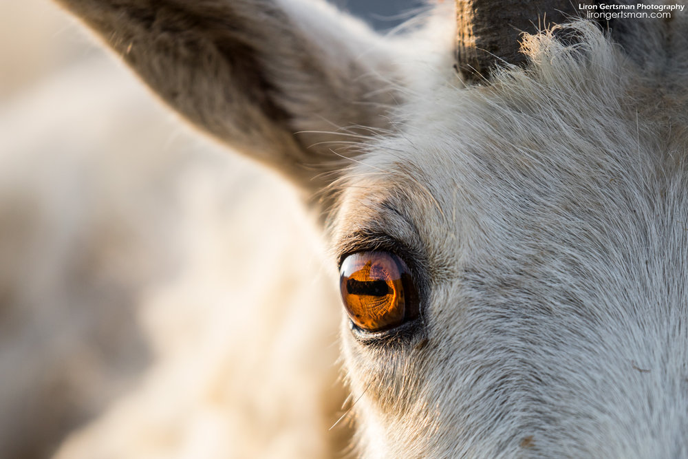 When I first got a close look at the eyes of a Mountain Goat, I knew I had to get a closeup. Isn't that a crazy eye? This was photographed with a 400mm lens near minimum focusing distance.