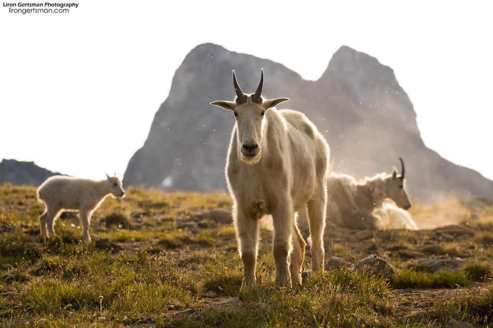 A male Mountain Goat stands tall in the morning. In the background, you can see a kid and its mother.