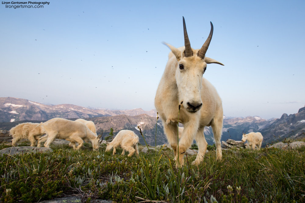 While observing the goats living their lives, it is easy to forget the threats that they face. Mountain Goats live in an incredibly harsh and rugged habitat. Beyond the dangers of the landscape and potential natural predators, they also face new threats; climate change is having an impact on mountains around the world, resulting in unusual weather that forces changes of habitat and diet.