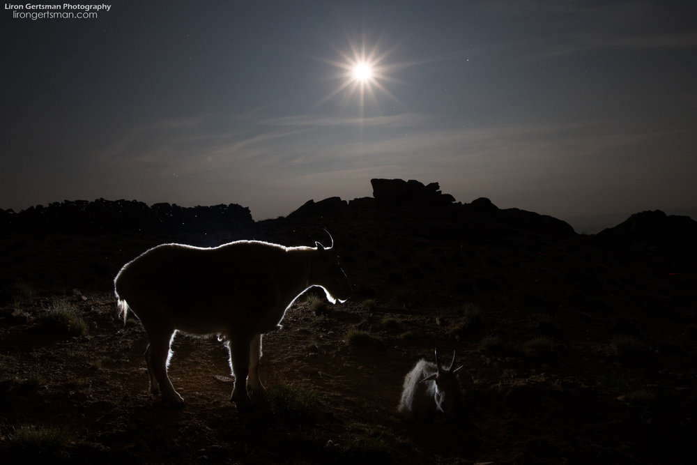 Mountain-Goat-backlit-moonlight1-web.jpg