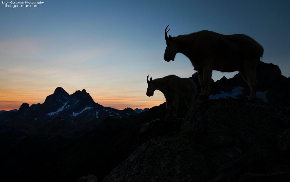 Mountain-Goat-dusk-silhouette-1-web.jpg