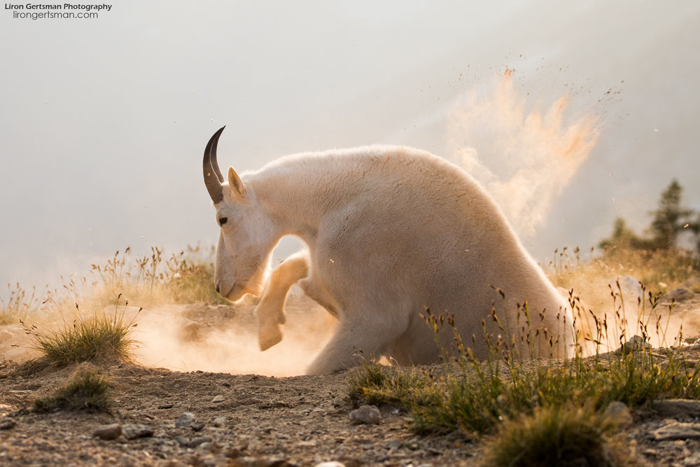 Mountain-Goat-kicking-up-dust.jpg