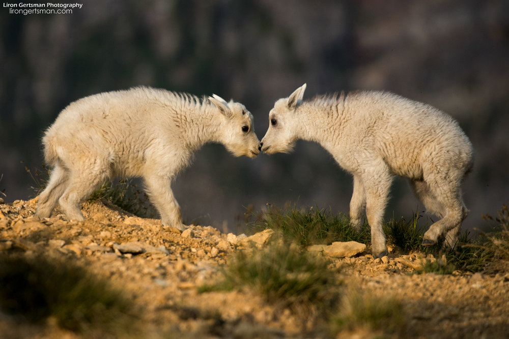Mountain-Goat-kids-01-web.jpg