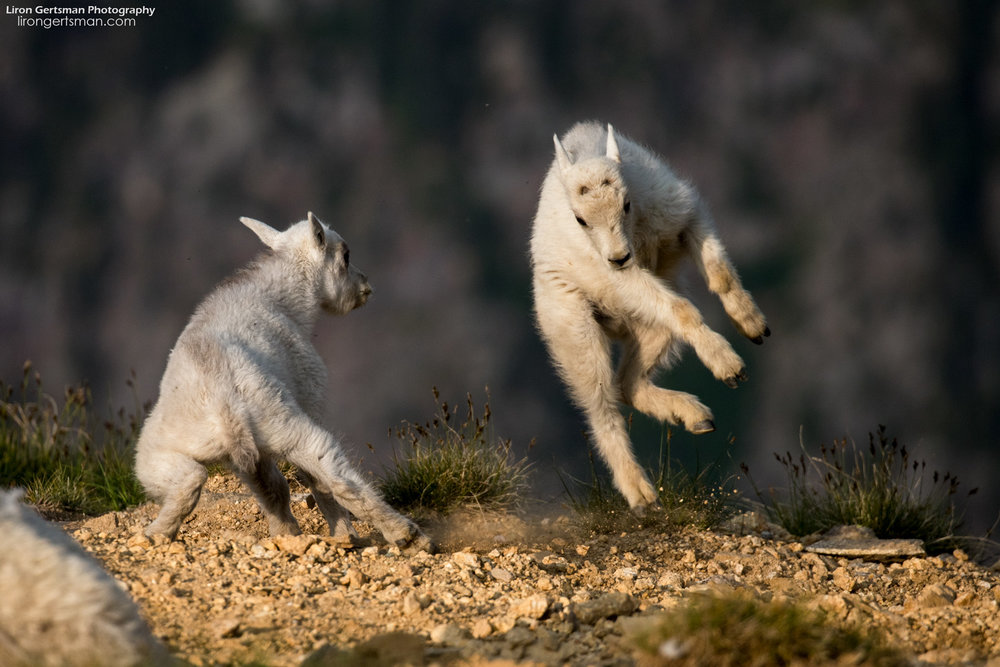 Mountain-Goat-kids-playfighting-web.jpg