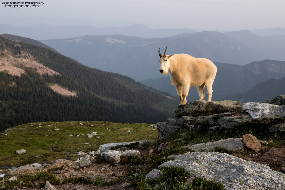 Mountain-Goat-landscape-web.jpg