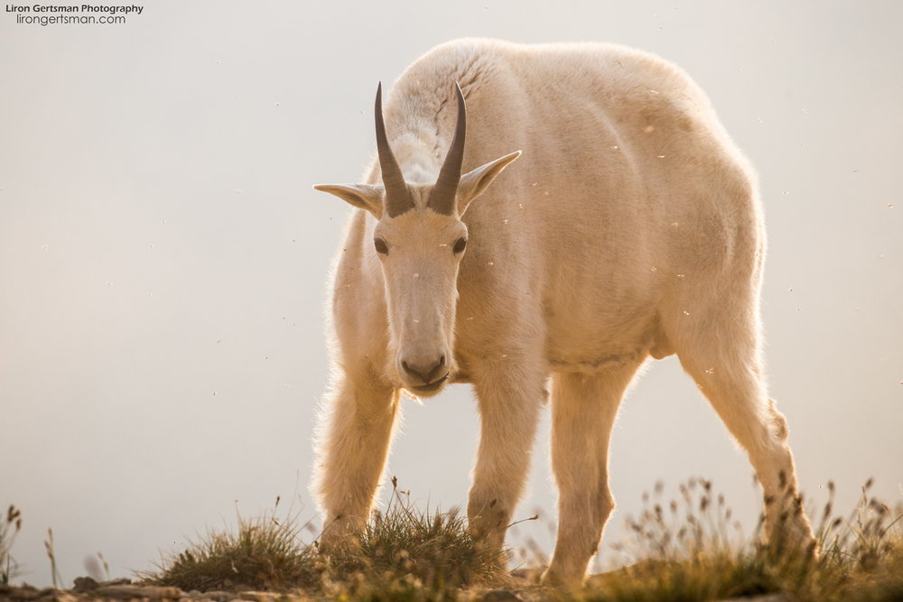 Mountain-Goat-sunset-web.jpg