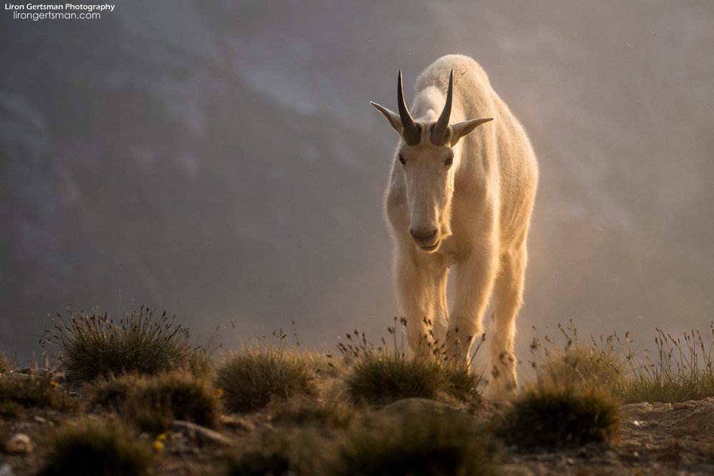 Mountain-Goat-walking-web.jpg