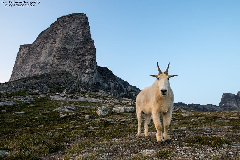 Mountain-Goat-with-peak-web.jpg