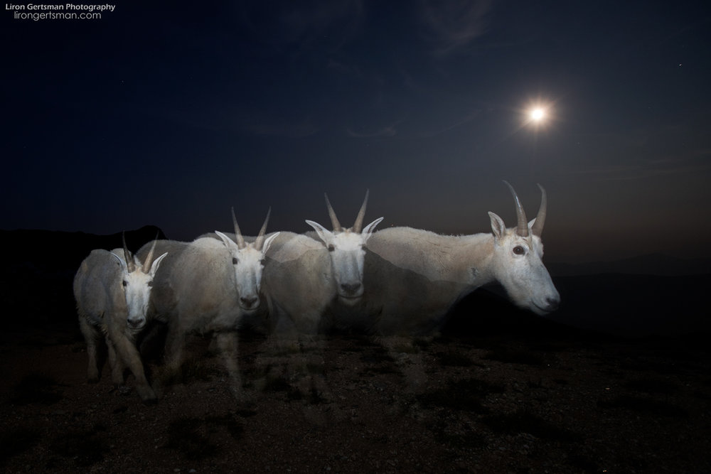 Here, a Mountain Goat walks past me in front of the near-full moon, photographed by triggering a handheld off-camera flash multiple times during a long exposure. I had envisioned this image during the day and spent a long time trying to get the perfect shot when it got dark. This was my first really successful attempt and I was thrilled when I saw it pop up on my camera screen.