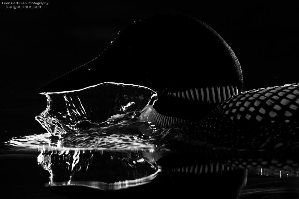 Common-Loon-dark-water-web.jpg