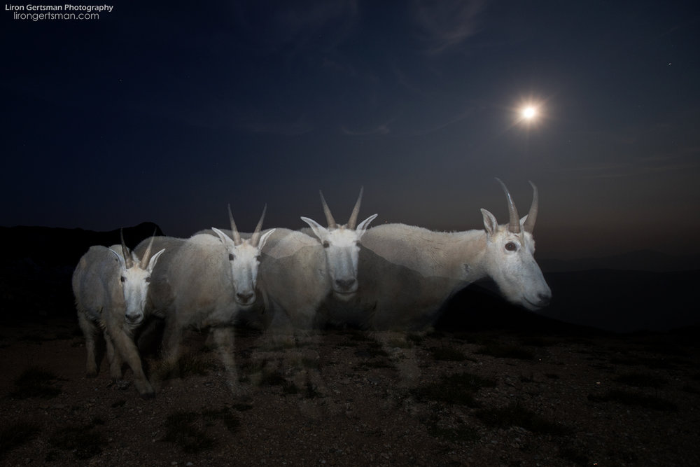 Mountain-Goat-Ghosts-dodge-web.jpg