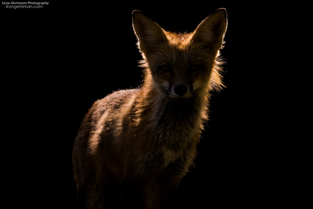 Red-Fox-backlight-spotlight-web.jpg
