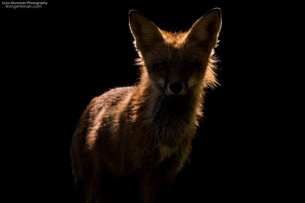 Red-Fox-backlight-spotlight-web.jpg
